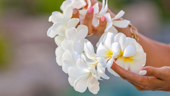Ý nghĩa của loài hoa Chăm Pa quốc hoa của Lào